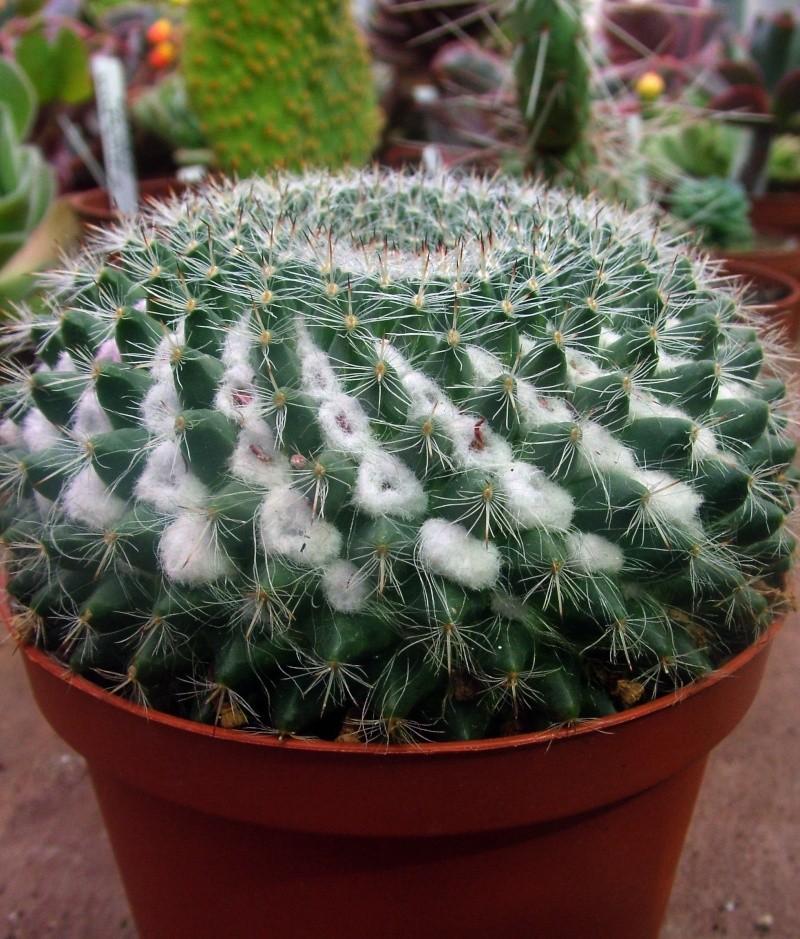 ID Mammillaria 2013_013