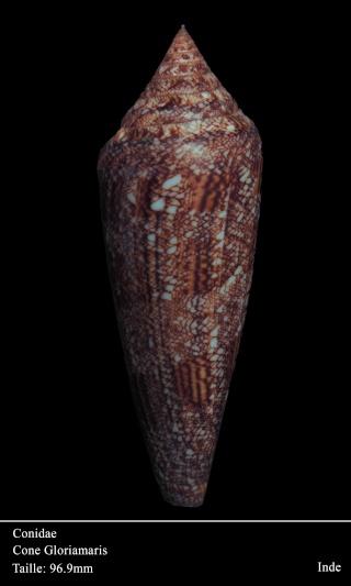 Conus (Cylinder) gloriamaris   Chemnitz, 1777 - Page 5 Dsc06011