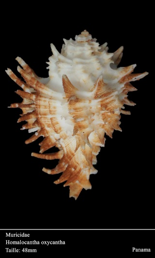 Homalocantha oxyacantha - (Broderip, 1833) Dsc06019