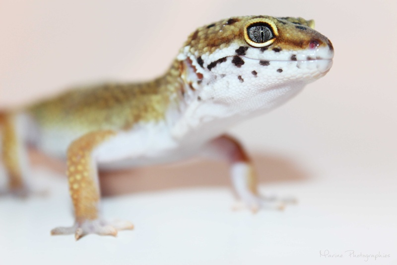 [Geckos Léopard] Krokmou, Mira et Pêche. Img_0311