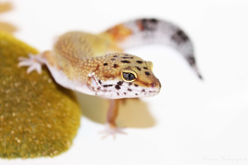 [Geckos Léopard] Krokmou, Mira et Pêche. Img_0510