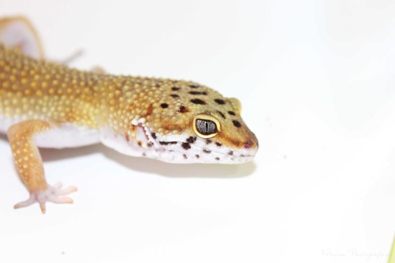 [Geckos Léopard] Krokmou, Mira et Pêche. Img_0511