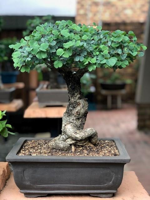 JoesBonsai Collection Acacia15