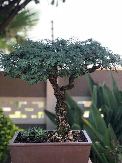 JoesBonsai Collection Acacia16
