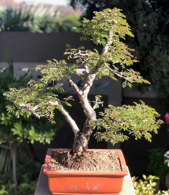 JoesBonsai Collection Acacia17