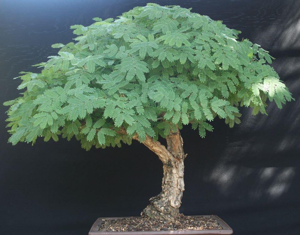 JoesBonsai Collection Acacia18