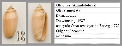 Annulatoliva carnicolor (Dautzenberg, 1927) Annula10