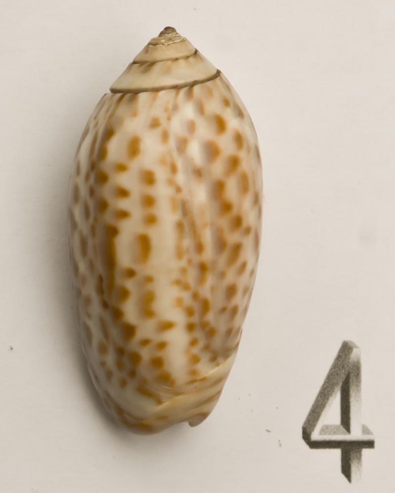 Americoliva peruviana (Lamarck, 1811) Oliva-16