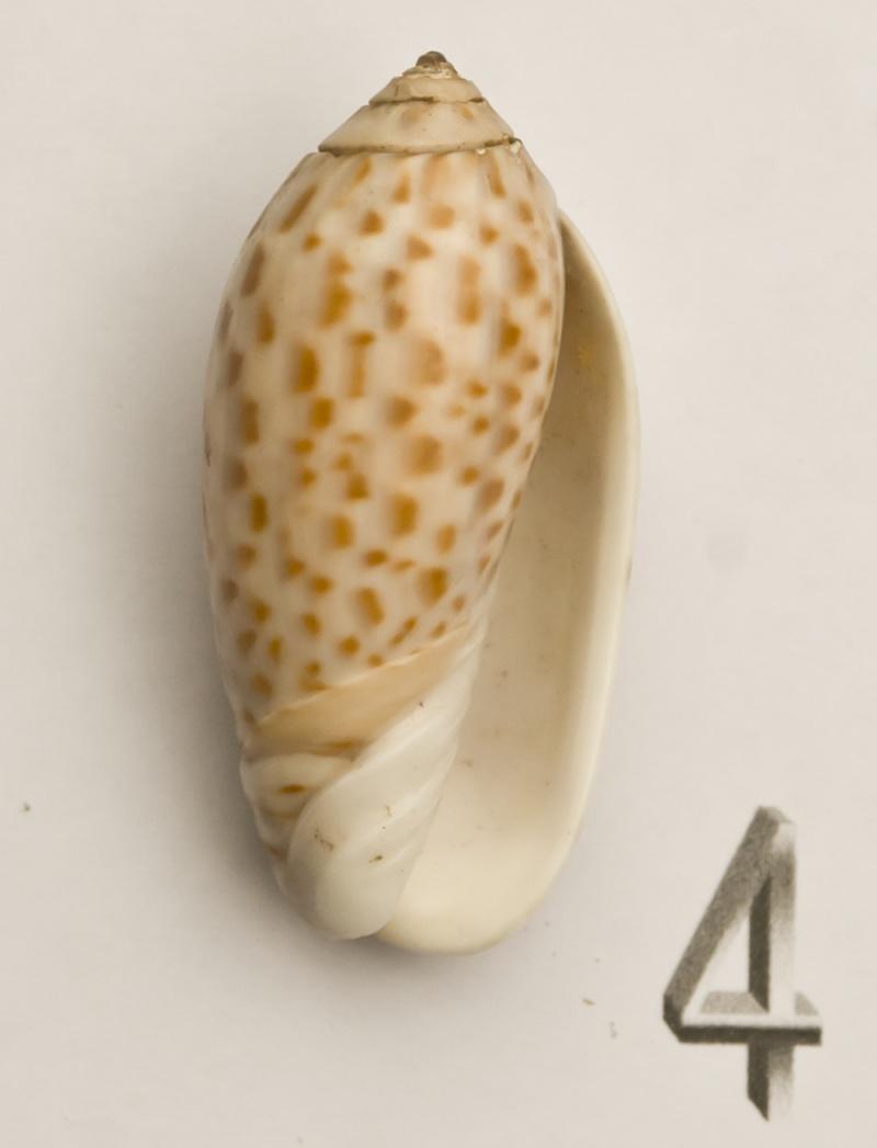 Americoliva peruviana (Lamarck, 1811) Oliva-17