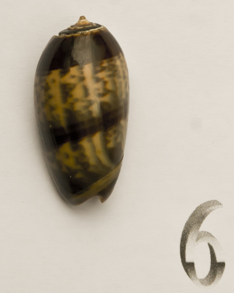 Carmione bulbiformis (Duclos, 1840) - Worms = Oliva bulbiformis Duclos, 1840 Oliva-20