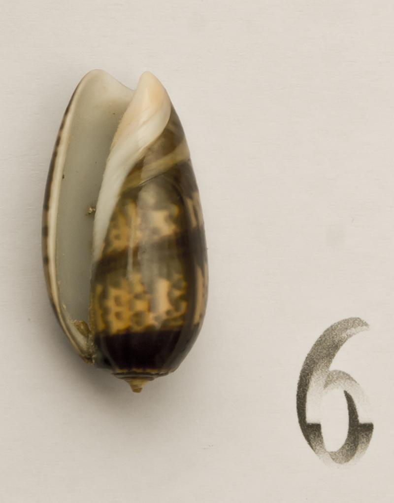 Carmione bulbiformis (Duclos, 1840) - Worms = Oliva bulbiformis Duclos, 1840 Oliva-21