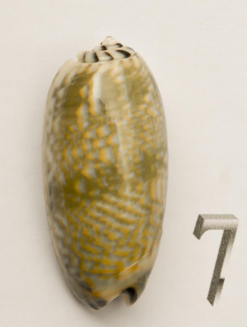Viduoliva tricolor (Lamarck, 1811) Oliva-22