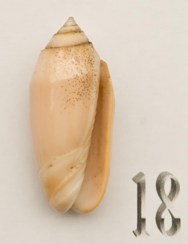 Annulatoliva carnicolor (Dautzenberg, 1927) Oliva-46