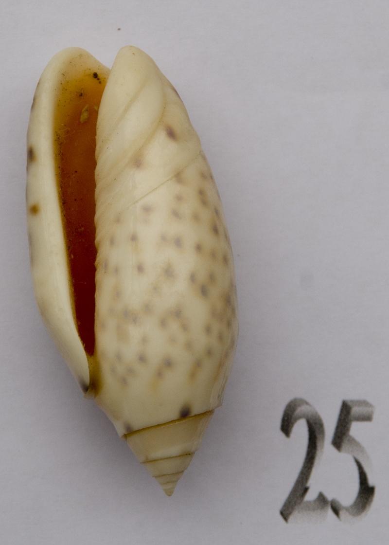 Annulatoliva amethystina (Röding, 1798) - Worms = Oliva amethystina amethystina (Röding, 1798) Oliva-60