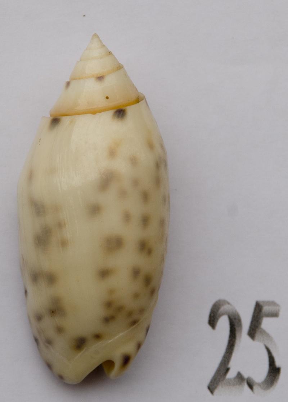 Annulatoliva amethystina (Röding, 1798) - Worms = Oliva amethystina amethystina (Röding, 1798) Oliva-61