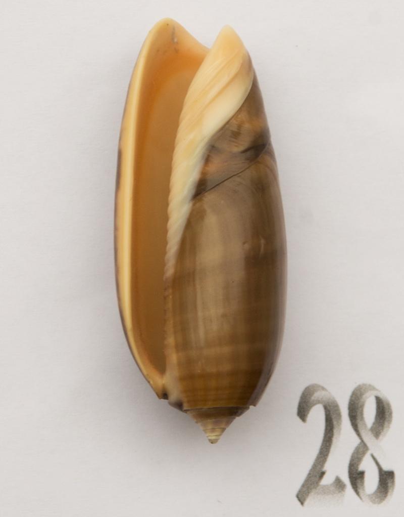 Miniaceoliva miniacea f. marrati (Johnson, 1910) accepted as Oliva miniacea miniacea (Röding, 1798) Oliva-66