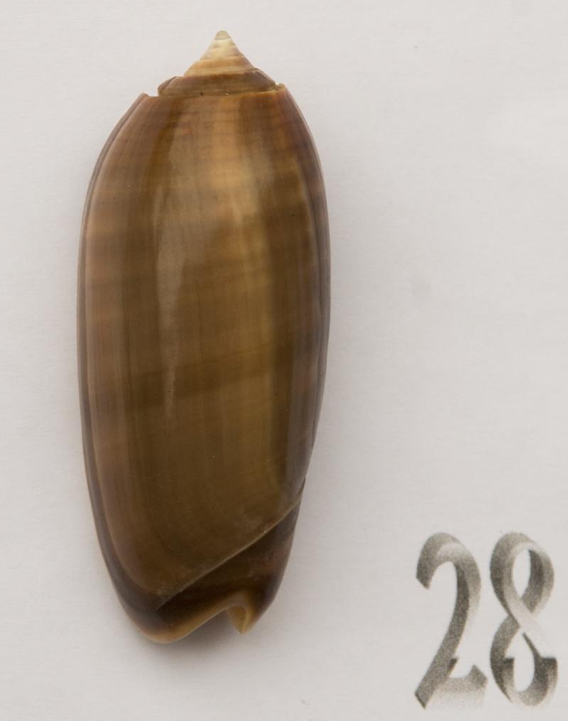 Miniaceoliva miniacea f. marrati (Johnson, 1910) accepted as Oliva miniacea miniacea (Röding, 1798) Oliva-67