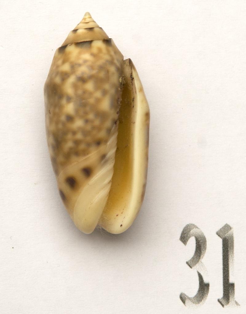 Annulatoliva amethystina (Röding, 1798) - Worms = Oliva amethystina amethystina (Röding, 1798) Oliva-72