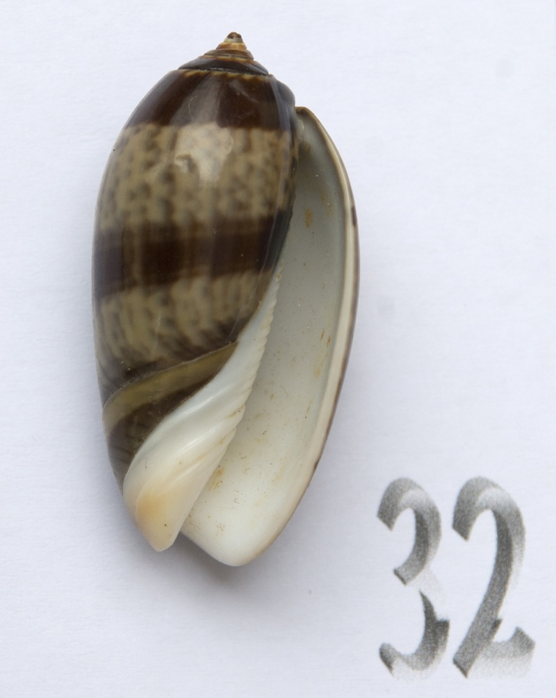 Carmione bulbiformis (Duclos, 1840) - Worms = Oliva bulbiformis Duclos, 1840 Oliva-74