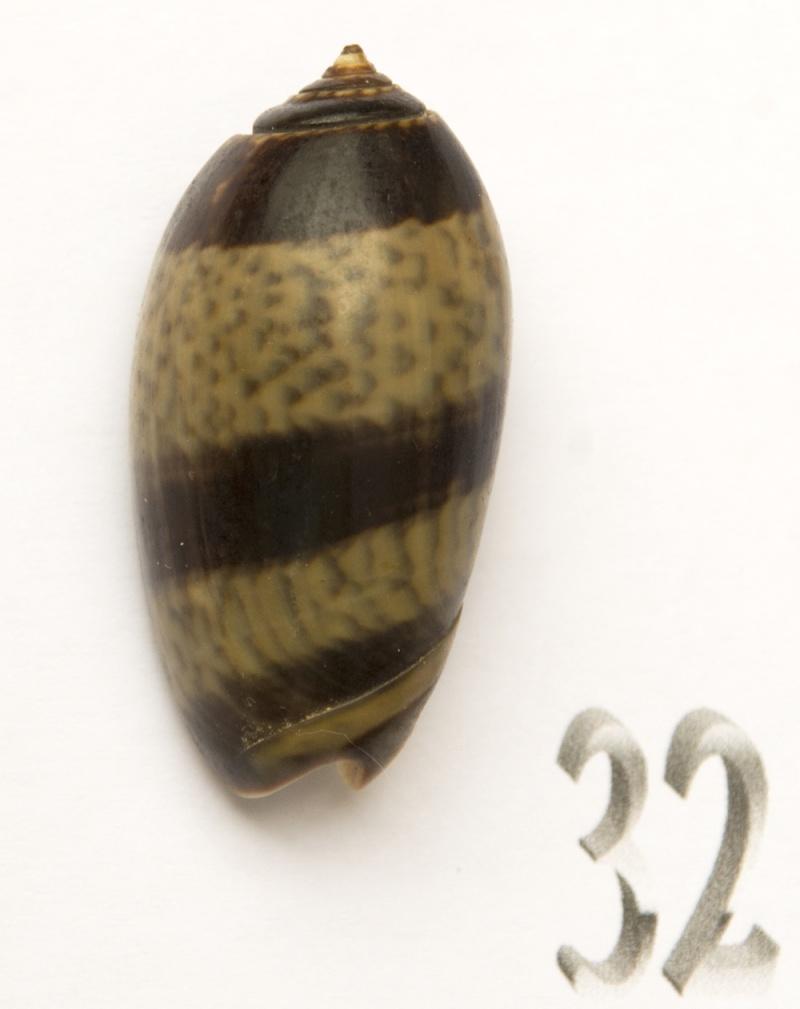 Carmione bulbiformis (Duclos, 1840) - Worms = Oliva bulbiformis Duclos, 1840 Oliva-75