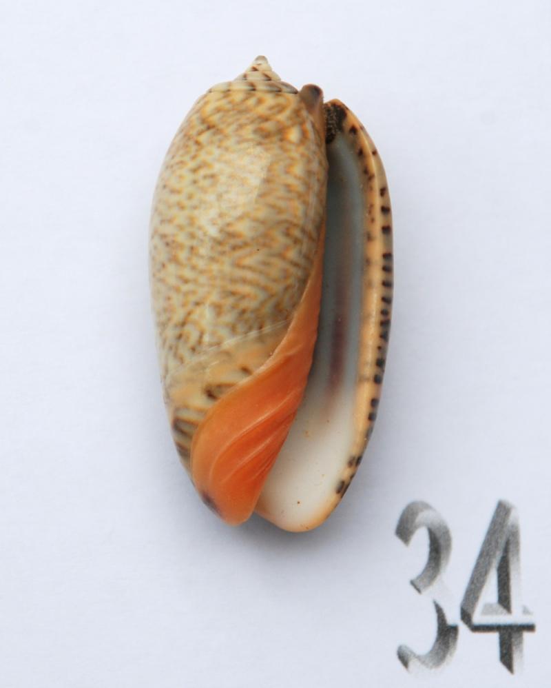 Viduoliva reticulata (Röding, 1798) - Page 2 Oliva-78