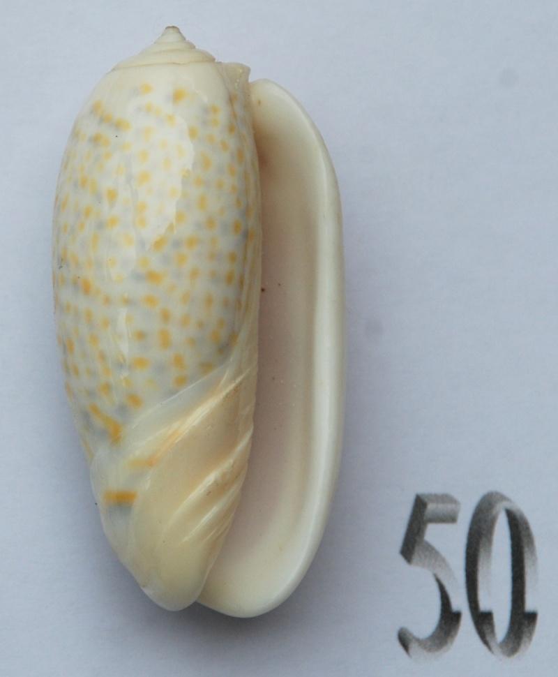 Viduoliva tricolor f. philanta (Duclos, 1835) Oliva113