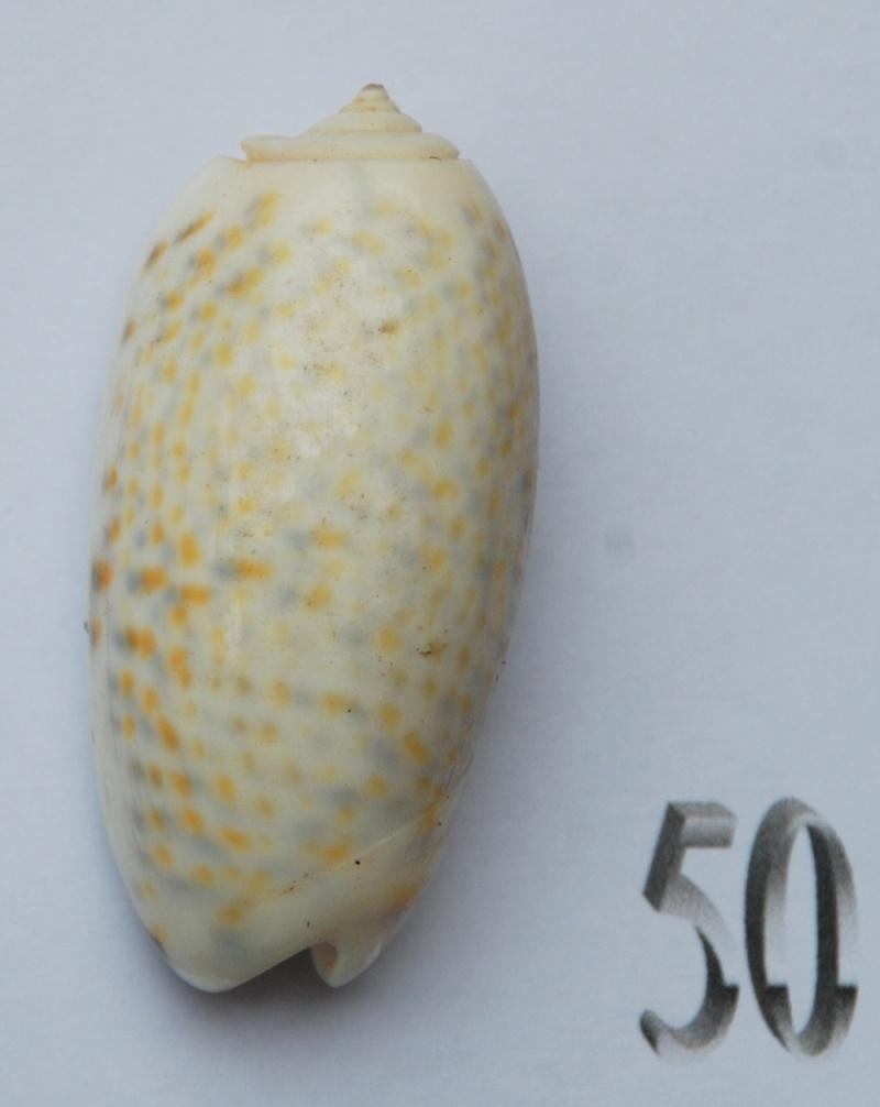 Viduoliva tricolor f. philanta (Duclos, 1835) Oliva114