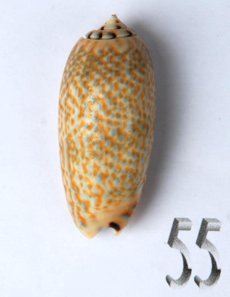 Viduoliva tricolor f. philanta (Duclos, 1835) Oliva124