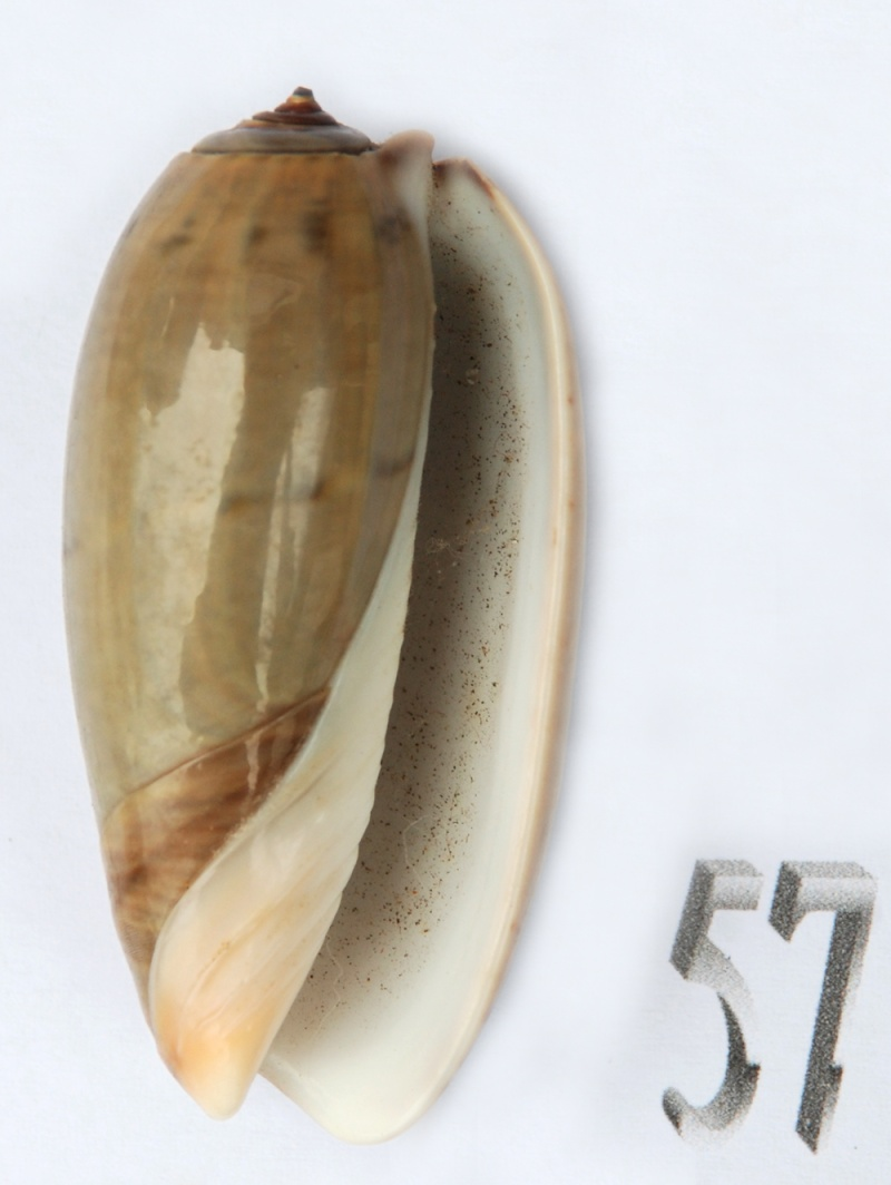 Viduoliva vidua f. albofasciata (Dautzenberg, 1927) Oliva128