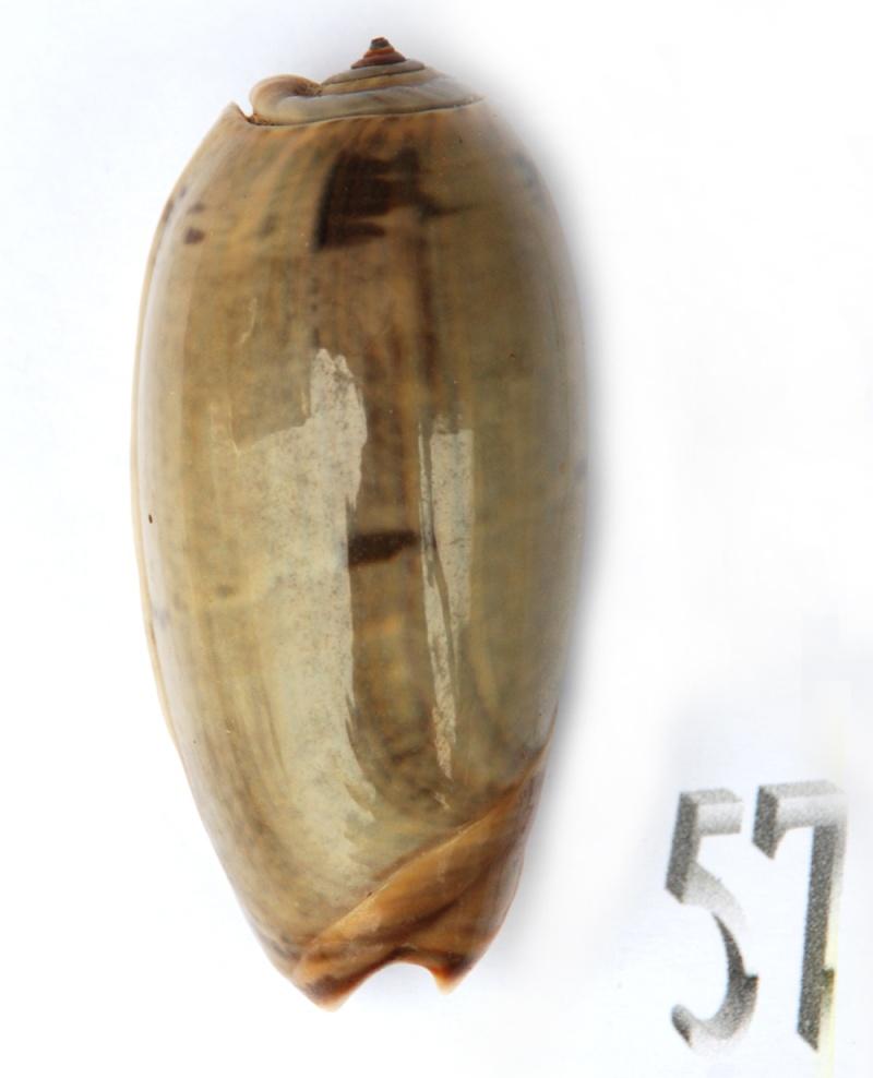 Viduoliva vidua f. albofasciata (Dautzenberg, 1927) Oliva129