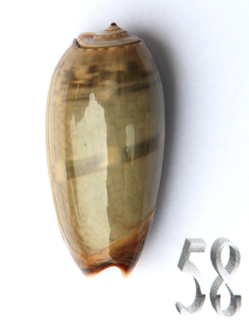 Viduoliva vidua f. albofasciata (Dautzenberg, 1927) Oliva131
