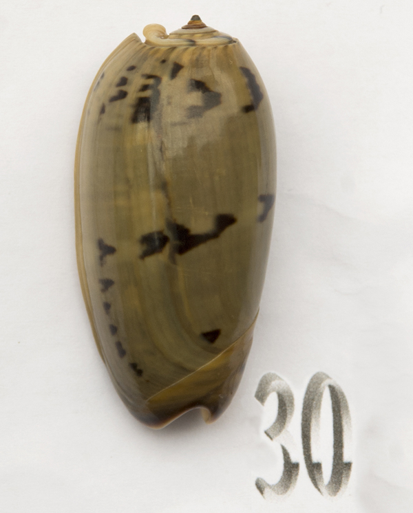 Viduoliva vidua f. albofasciata (Dautzenberg, 1927) Oliva190