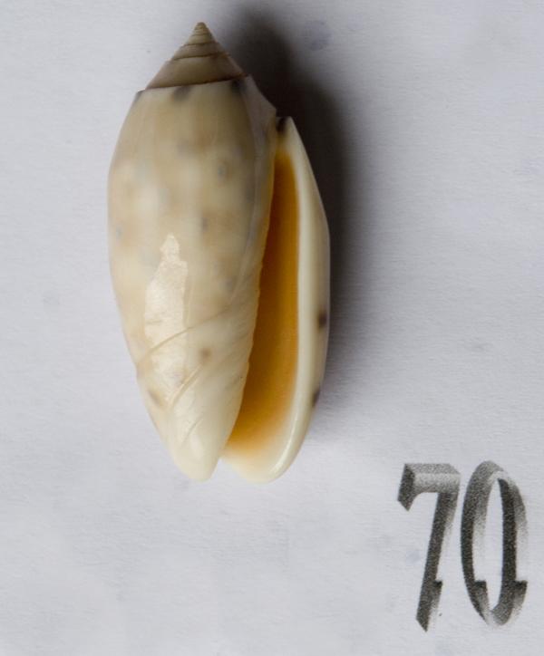 Annulatoliva amethystina (Röding, 1798) - Worms = Oliva amethystina amethystina (Röding, 1798) - Page 2 Oliva198