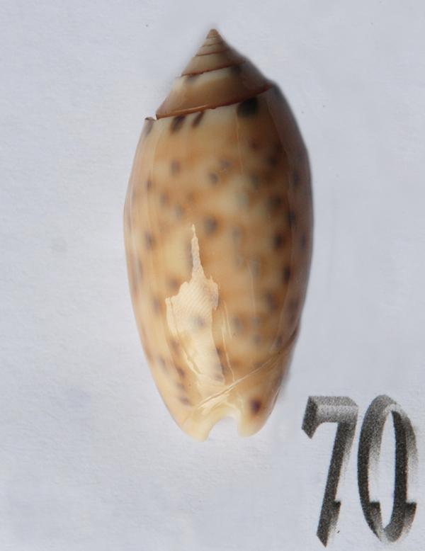 Annulatoliva amethystina (Röding, 1798) - Worms = Oliva amethystina amethystina (Röding, 1798) - Page 2 Oliva199