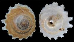 Xenophoridae Onustus - Discussion sur le genre, la planche Onustu10
