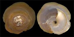 Xenophoridae Onustus - Discussion sur le genre, la planche Onustu11
