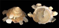 Xenophoridae Onustus - Discussion sur le genre, la planche Onustu12