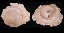 Xenophoridae Onustus - Discussion sur le genre, la planche Onustu13