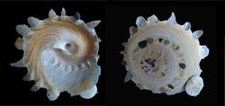 Xenophoridae Stellaria - Discussion sur le genre, la planche  S-chin10