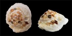 Xenophoridae Stellaria - Discussion sur le genre, la planche  S-lamb11