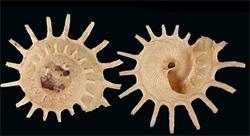 Xenophoridae Stellaria - Discussion sur le genre, la planche  S-sola12