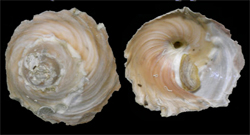 Xenophoridae Stellaria - Discussion sur le genre, la planche  Stella10