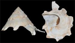 Xenophoridae Stellaria - Discussion sur le genre, la planche  Stella11