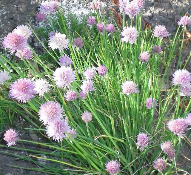 Amaryllisgewächse - Amaryllidaceae (Hippeastren, Nerine, Amaryllis, Agapanthus und auch Allium & Narzissen) - Seite 5 Allium10