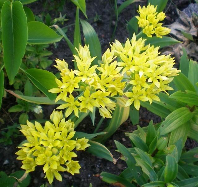 Amaryllisgewächse - Amaryllidaceae (Hippeastren, Nerine, Amaryllis, Agapanthus und auch Allium & Narzissen) - Seite 5 Allium11
