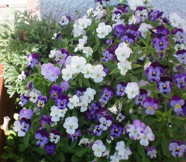 Viola - Veilchen aller Art - Seite 2 Hausta10