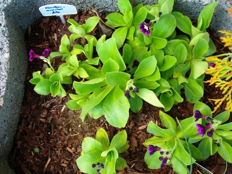 Gattung Primula - Primeln, Aurikeln, Schlüsselblumen - Seite 2 Ostbee10
