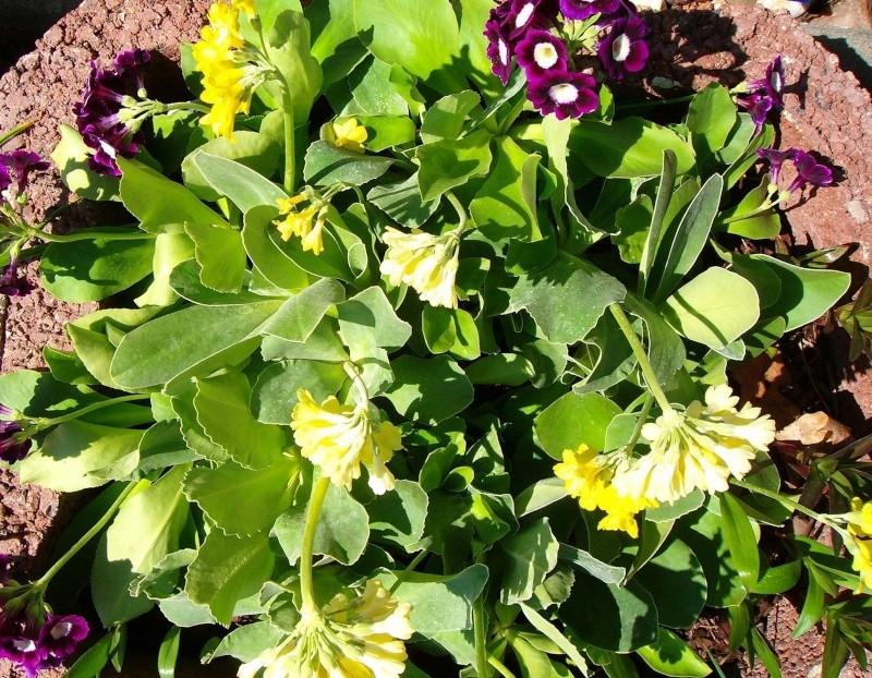Gattung Primula - Primeln, Aurikeln, Schlüsselblumen - Seite 2 Ostbee11