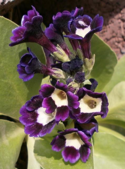 Gattung Primula - Primeln, Aurikeln, Schlüsselblumen Primul14