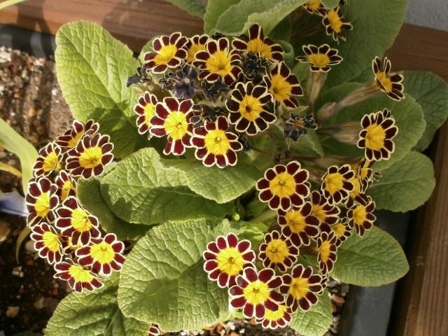Gattung Primula - Primeln, Aurikeln, Schlüsselblumen Primul16